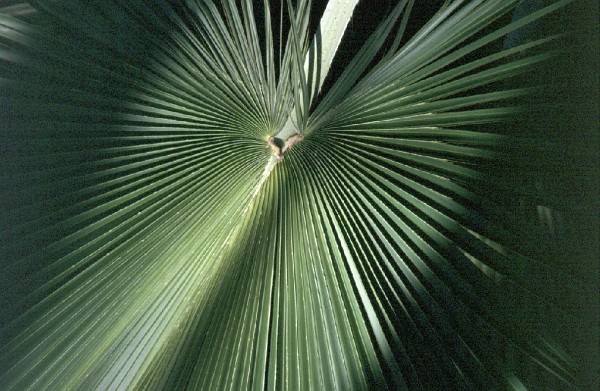 Palm Leaf - Kew Gardens