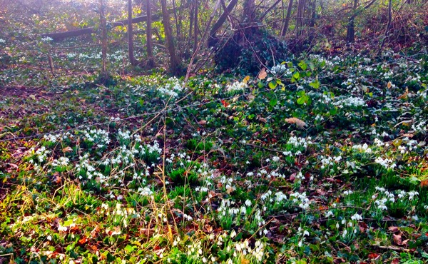 Woodland snowdrops in Lincolnshire