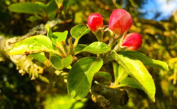 Spring Apple Blossom