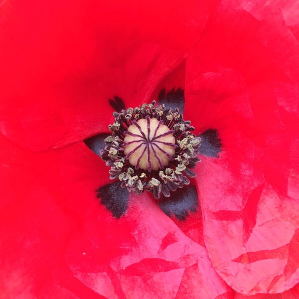 The centre of a poppy