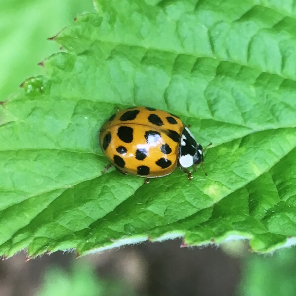 Another ladybird on a raspberry leaf