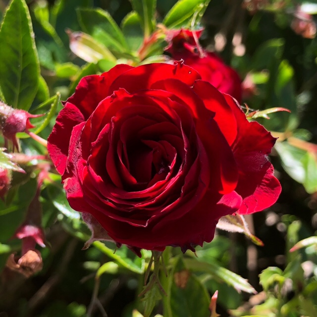 Another red rose